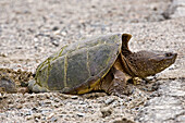 Snapping turtle Chelydra serpentina Female laying eggs in roadside gravel