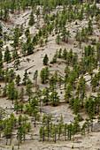 Pine population on Thompson River canyon walls in semi arid environment