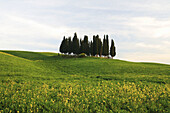Cypress, Italian Cypress, Cupressus sempervirens, Rape, hill countryside, agricultural landscape, Tuscany, Italy