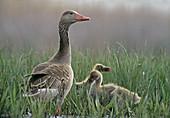 Greylag Goose with hatchlings (Anser anser)