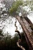 Alte rote Zypresse im Morgennebel, Göttliche Bäume im Ma-Kou Naturpark, Mingchih, Taiwan, Asien
