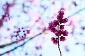 Violet flowering stem