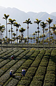 Areca, tea farmers working on a tea plantation, Rueili, Alishan, Taiwan, Asia