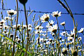Marguerites in front of barbed wire fence and blue sky, Arzmoos, Sudelfeld, Bavaria, Germany