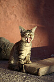 Young cat yawning