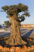 Spain. Aragon. Zaragoza. La Muela. One thousand years old olive tree