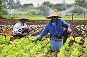 Men working on a farm harvesting lettuce Mauritius