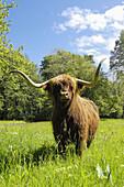 Scottish Highland cow at Brodie Castle. Moray, Grampian region, Scotland, UK
