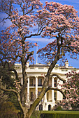 The White House framed by cherry blossoms, The South Lawn, Washington D C, U S A