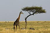 Giraffe and acacia tree, Masai Mara National Reserve, Kenya