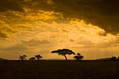 An acacia tree at sunset, Serengeti National Park, Tanzania