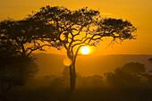 The sun setting behind an acacia tree, Tarangire National Park, Tanzania