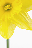 daffodil, daffodils, flower, flowers, colour, colours, color, colors, garden, gardens, field, fields, flowering, yellow, dew, spring, close, close up, up close, centre, middle, vase, background, isolated