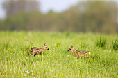 Couple of fawn, roe deer (Capreolus capreolus), standing in meadow