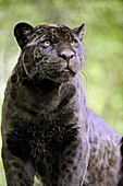 Jaguar female (Panthera onca), black melanic form, captive