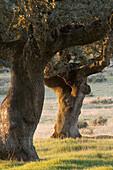 Holm Oak (Quercus ilex) in pasture. Salamanca province, Castilla-Leon, Spain