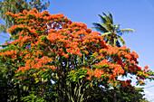 Flame Tree, Flamboyant, Royal Poinciana, nobody,  Mauritius, Africa