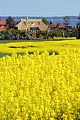 D, Germany, Europe, Mecklenburg Western Pomerania, Baltic Sea, Fischland, Darss, Ahrenshoop, Spring, Springtime, Rape, Rape Field, Village, Cottage, Cottages, Landscape, Holiday Flats