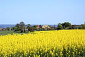 D, Germany, Europe, Mecklenburg Western Pomerania, Baltic Sea, Fischland, Darss, Ahrenshoop, Spring, Springtime, Rape, Rape Field, Village, Cottage, Cottages, Landscape, Holiday Flats, Bodden