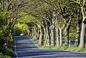 D, Germany, Europe, Mecklenburg Western Pomerania, Rügen, Ruegen, Baltic Sea, Jasmund, Alley, Spring, Springtime, Landscape, Car, Trees