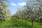 D, Germany, Brandenburg, Werder a d  Havel, Blossoming, Blossom, Spring, Bloom, Blooming, Botany, Crop, Crops, Meadow, Flower, Flowers, Landscape, Springtime, Plum Tree