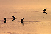 Wading birds, Aiguamolls de lEmporda Natural Park. Catalonia, Spain