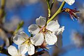 Almond flowers. Mieza, Arribes del Duero natural Park, Salamanca province. Castile-Leon. Spain