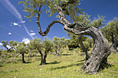 Olive trees in the Natural Park of Arribes del Duero, Vilvestre, Salamanca, Castilla y Leon, Spain, Europe.