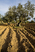 Olive trees in the Natural Park of Arribes del Duero, Salamanca, Castilla y Leon, Spain, Europe.