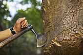 Extraction of the cork from the cork oak, Quercus suber. Valle de Las Batuecas, Batuecas Natural Park of the Sierra de France, Salamanca, Castilla y Leon, Spain.
