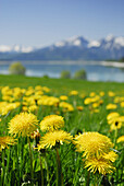 Meadow with dandelion, lake Forggensee in background, Allgaeu, Bavaria, Germany