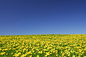 Meadow with dandelion against blue sky, Allgaeu, Bavaria, Germany