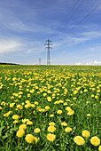 Electricity pylons in meadow with dandelion, near Holzkirchen, Upper Bavaria, Bavaria, Germany