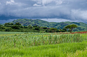 Green vegetation and sugarcane field at Nausori Highlands, Viti Levu, Fiji Islands, South Pacific, Oceania