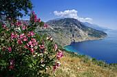 Oleander blossom in front of coastline under blue sky, Makarska Riviera, Croatian Adriatic Sea, Dalmatia, Croatia, Europe