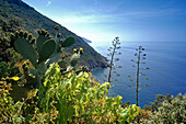 Vegetation at the rocky coast in the sunlight, Cinque Terre, Liguria, Italian Riviera, Italy, Europe