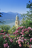 Blühende Rosen vor dem Kirchturm von Morcote und dem Lago di Lugano, Tessin, Schweiz, Europa
