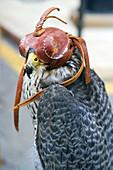 Falcon (Falco peregrinus) with leather hood