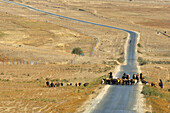 Nomads in Xinjiang herding their live-stock to new pastures in preparation for winter, China
