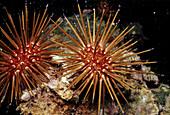 Sea Urchin. Veracruz, Mexico