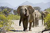 African elephants walking in the Hoarusib riverbed, Namibia