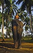 Elephant training at the Elephant orphanage of Pinewalla, Sri Lanka