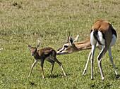 Thomson Gazelle grooms newborn