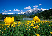Globe flowers at lake Lautersee under blue sky, Bavaria, Germany, Europe