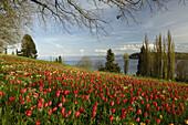 Parkland with tulips, Mainau island, Lake Constance, Baden-Wurttemberg, Germany