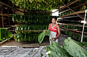 Woman sorting tobacco leaves, Alejandro Robaina Tobacco Farm, Pinar del Rio, Cuba, West Indies
