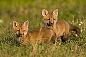 Farbe, Fuchs, Junge hunde, Konkurrenz, Natur, Roter Fuchs, Schönheit, Schutz, Überleben, Verheerendes feuer, Wettbewerb, A06-758739, agefotostock