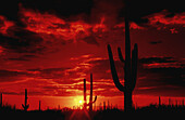 The sun sets in Saguaro National Park West in the Sonoran Desert in Tucson, Arizona, USA.