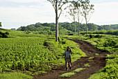 El Salvador.  Agricultural landscape of the Zone Central. Corn field.