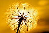 Dandelion and sunset.